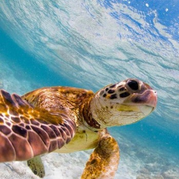 Lady Elliot Island, QLD. #turtle #selfie from @karamurphyimages at outdoortravelchannel.tv