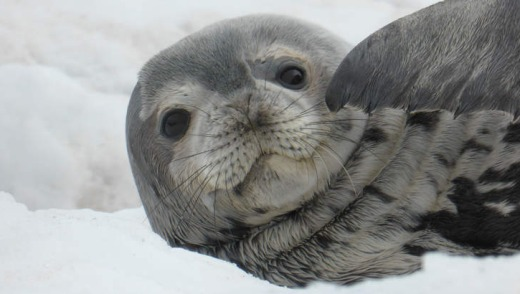 A seal pup.