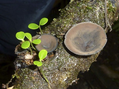 Cup fungus with coachwood seedlings in Robertson Nature Reserve.
