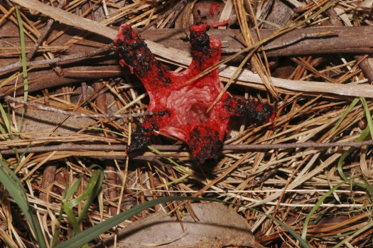 """Red stink-horn fungus or Starfish Fungus? (<i>Aseroe rubra</i>). The black """"gleba"""" is smelly, and attracts flies which ..."""