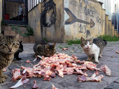 Sultanahmet. Stray cat feast on  waste.