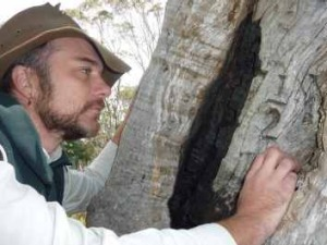 Ranger Galpin checks out an historic blaze in a tree marking an old road alignment in the Brindabellas