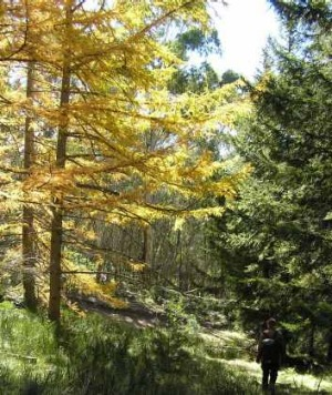 Japanese larch (planted in 1951) in their autumn glory in Bendora Arboretum.