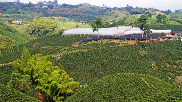 A coffee plantation in Colombia's World Heritage-listed coffee triangle.