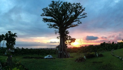Take a leaf: Sanson, the banyan tree, looks sculptural against the sunset.