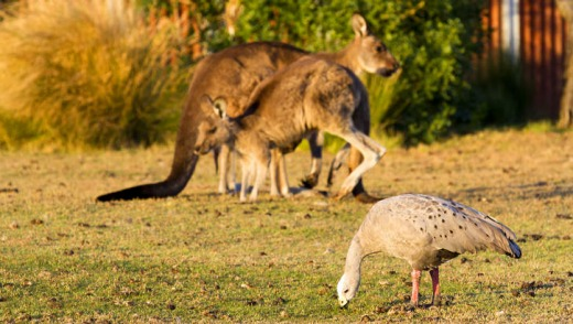 Cape Barren goose and kangaroos grazing the grasses around the homestead.