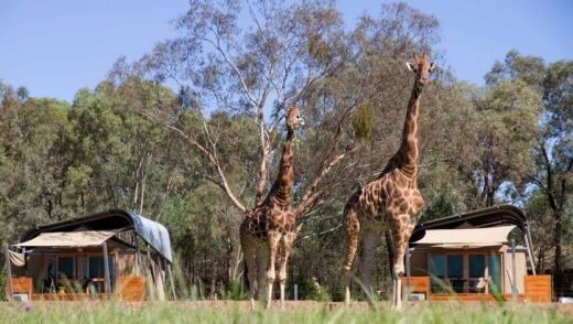 Up close: giraffes at the Dubbo Plains Zoofari Lodges.