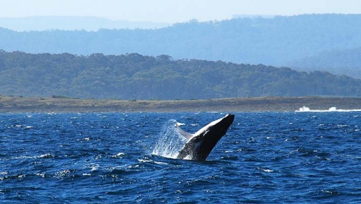 The majority of migrating whales is expected to pass through the area between the end of June and start of July.