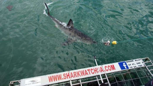 Great white sharks at Gansbaai.