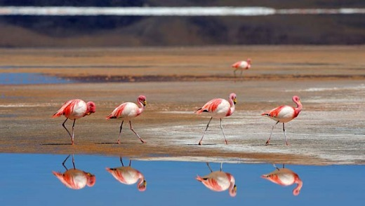 James' flamingos (Phoenicoparrus jamesi) reflected in Laguna Colorada, Uyuni, Bolivia.
