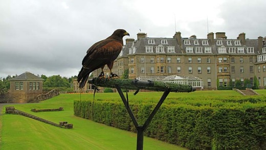 Comet the harrier hawk at the British School of Falconry.