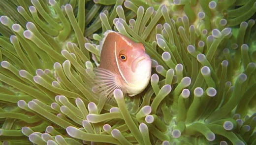 Snorkelling: A pink anemone fish off Koh Tao.