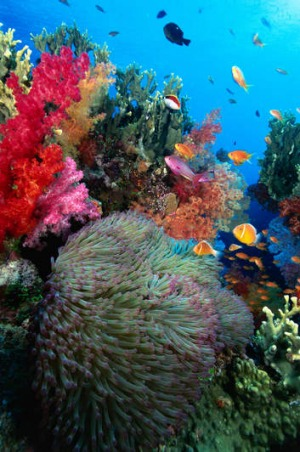 Marine life at Cat's Meow, Bligh Water, Vanua Levu Barrier Reef.