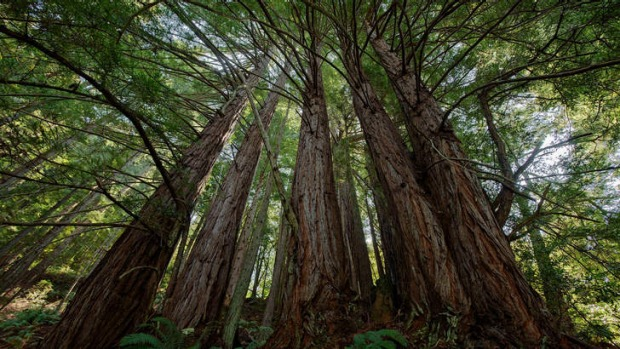 Standing tall: a Redwood grove.
