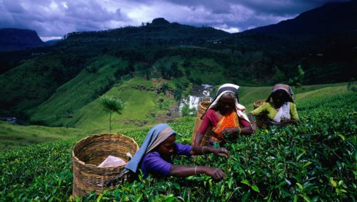 Hand picking tea leaves near Nuwara Eliya.