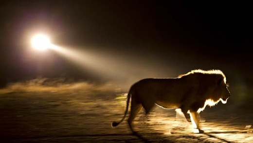 A silhouette of a male lion.