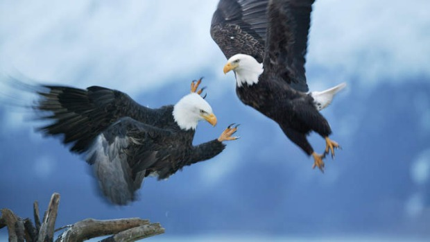 Winging it: bald eagles fight.