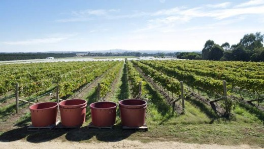 Brown Magpie Wines on harvest day.