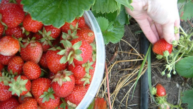 """Working on the Willing Workers on Organic farms (<span class=""""highlight"""">WWOOF</span>) project picking strawberries.<br />"""