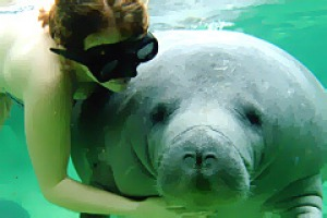 Reef relaxation ... a cuddly manatee.