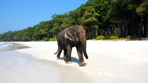 Havelock Island elephants are a throwback to colonial days.