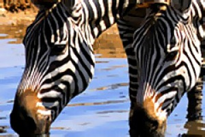 Out of Africa ... zebras quench their thirst.
