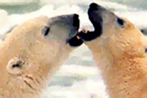 Cold comfort ... there are about 20,000 polar bears in the wild.