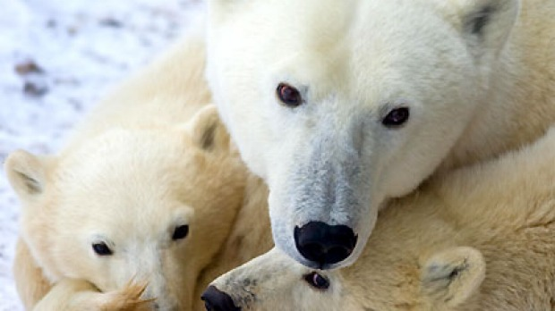 Tracking endangered wildlife like polar bears in Churchill, Mantioba is part of the trend for 'tourism of doom'.