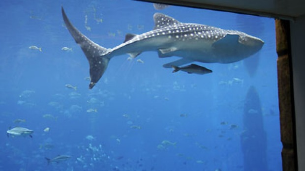 Wildlife activists claim the Atalantis hotel's whale shark life is in danger.
