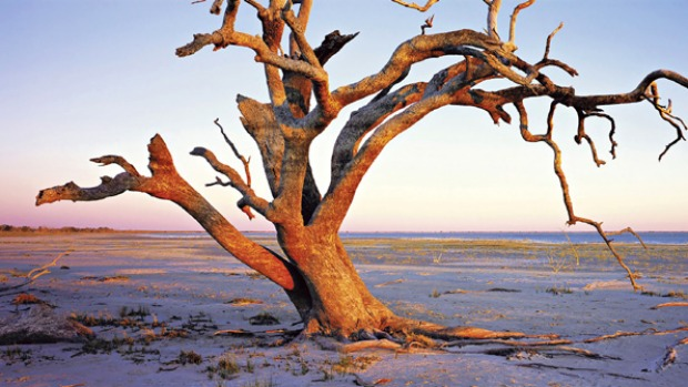 Waterworld ... a ghostly tree on the shore of Menindee Lake.