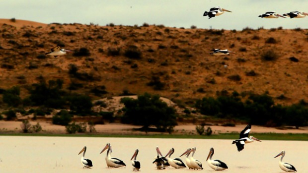 Just add water ... pelicans flock to the flooded Lake Eyre.