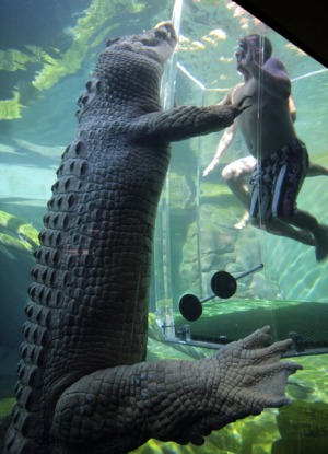 Croc and roll ... the adrenalin-pumping Cage of Death.