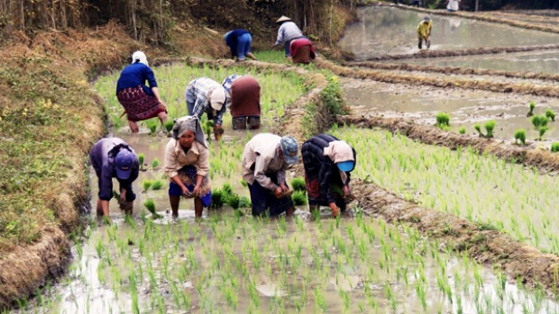 Rice growing in Luang Prabang.