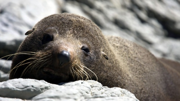 Of the sea ... a fur seal puppy lazes on the rocks.