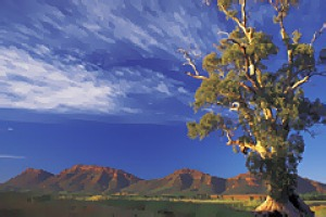 Outback spectacular ... a Cazneaux tree with Wilpena Pound in the background.