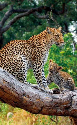 Fast as lightning ... the elusive Legadema and one of her cubs.