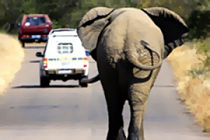 Drive-by sightings ... an elephant roams Kruger.