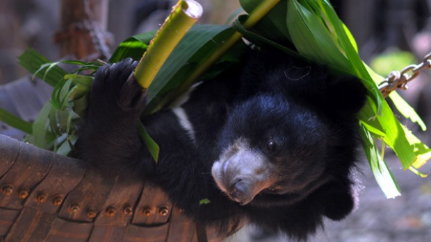 On the mend ... an Asiatic black bear at Tat Kuang Si Bear Rescue Centre.