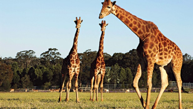 Safari suite ... giraffes roam the fields at Western Plains Zoo.