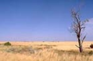 A solitary tree in the middle of the Nullabor Plain near Cocklebiddy