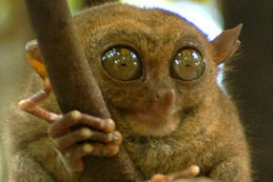 In the Philippines, get up close and personal with a tarsier, one of the world's smallest and most endangered primates. ...