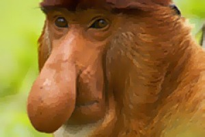 Led by the nose ... a proboscis monkey.