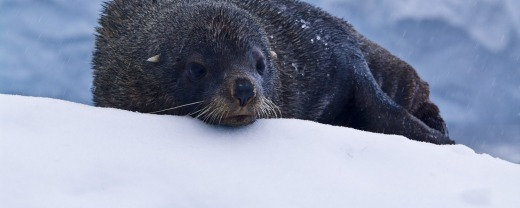 A seal casts a wary eye about Crystal Sound, Antarctica.