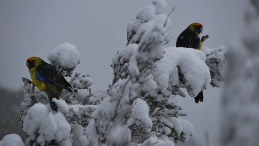 Birds provide splashes of colour to a mostly white world.