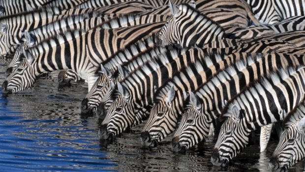 Zebras at a watering hole in Namibia.