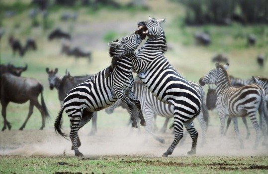 Zebra stallions fight in Kenya.