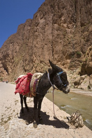 A donkey waits patiently in the Todra Gorge.
