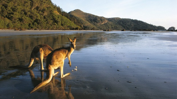 The most popular visitors are the kangaroos and wallabies that come down for a spot of beachcombing every morning.