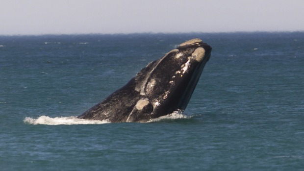At least one set of visitors doesn't mind the cooler winter waters: many species of whale that travel along large ...