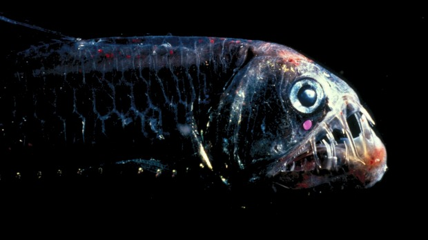 The viperfish: Lurking at between 1000 and 2000 metres below the surface of the ocean, this deep sea fish has fangs so ...
